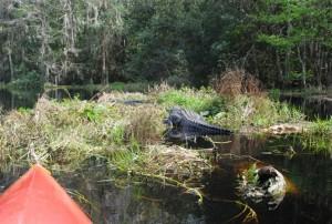 2 gators